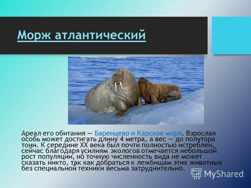 Морж атлантический Ареал его обитания Баренцево и Карское моря. Взрослая особь может достигать длину 4 метра, а вес до полутора тонн. К середине ХХ века был почти полностью истреблен, сейчас благодаря усилиям экологов отмечается небольшой рост популя
