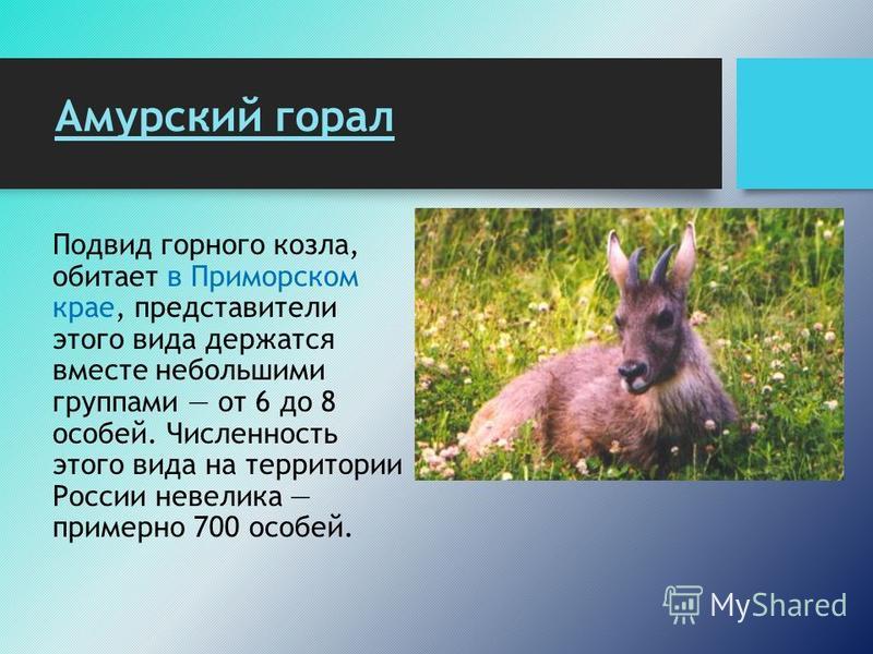 Амурский горал Подвид горного козла, обитает в Приморском крае, представители этого вида держатся вместе небольшими группами от 6 до 8 особей. Численность этого вида на территории России невелика примерно 700 особей.
