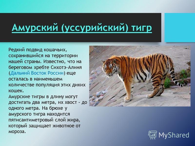 Амурский (уссурийский) тигр Редкий подвид кошачьих, сохранившийся на территории нашей страны. Известно, что на береговом хребте Сихотэ-Алиня (Дальний Восток России) еще осталась в наименьшем количестве популяция этих диких кошек. Амурские тигры в дли