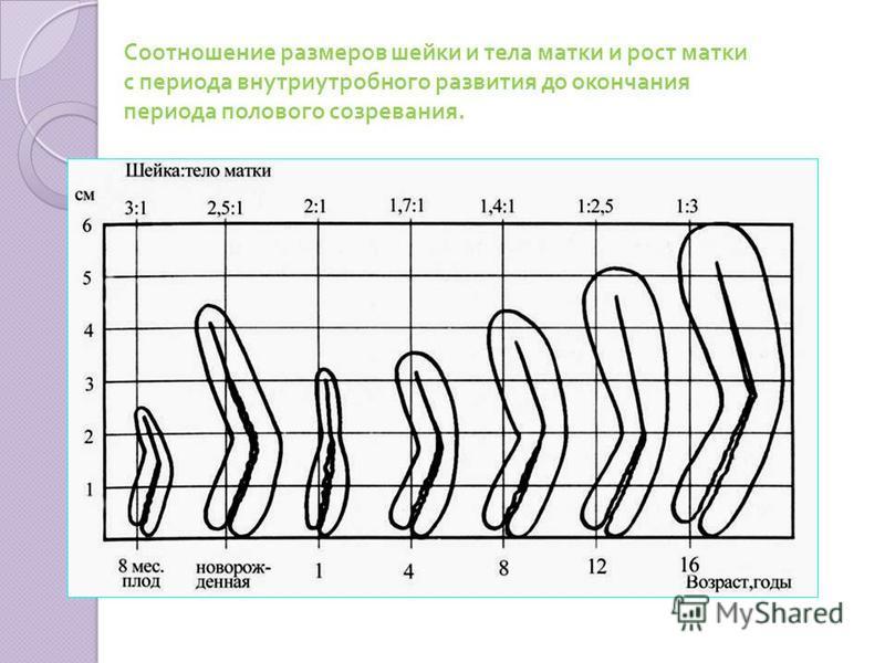 Соотношение размеров шейки и тела матки и рост матки с периода внутриутробного развития до окончания периода полового созревания.