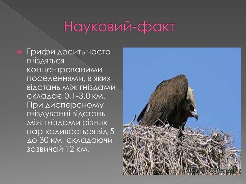 Грифи досить часто гніздяться концентрованими поселеннями, в яких відстань між гніздами складає 0,1-3,0 км. При дисперсному гніздуванні відстань між гніздами різних пар коливається від 5 до 30 км, складаючи зазвичай 12 км.
