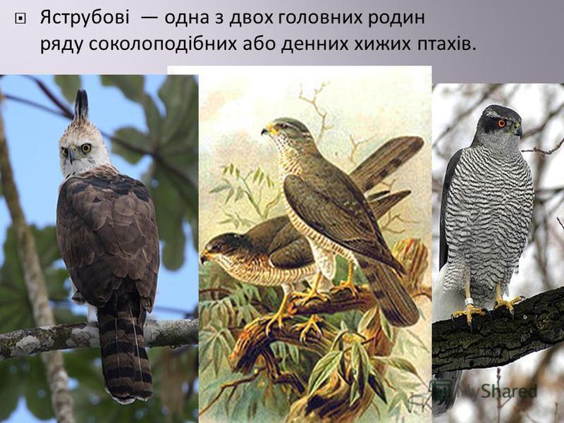Яструбові одна з двох головних родин ряду соколоподібних або денних хижих птахів.