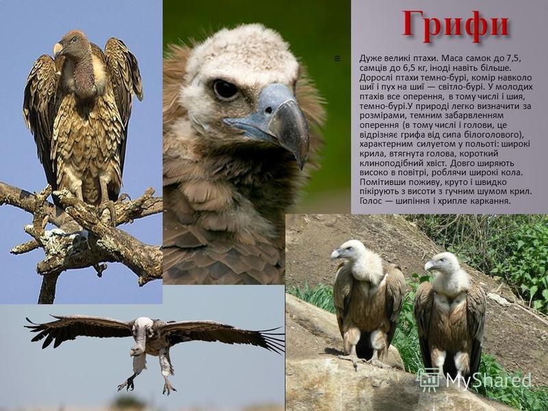 Дуже великі птахи. Маса самок до 7,5, самців до 6,5 кг, іноді навіть більше. Дорослі птахи темно-бурі, комір навколо шиї і пух на шиї світло-бурі. У молодих птахів все оперення, в тому числі і шия, темно-бурі.У природі легко визначити за розмірами, т