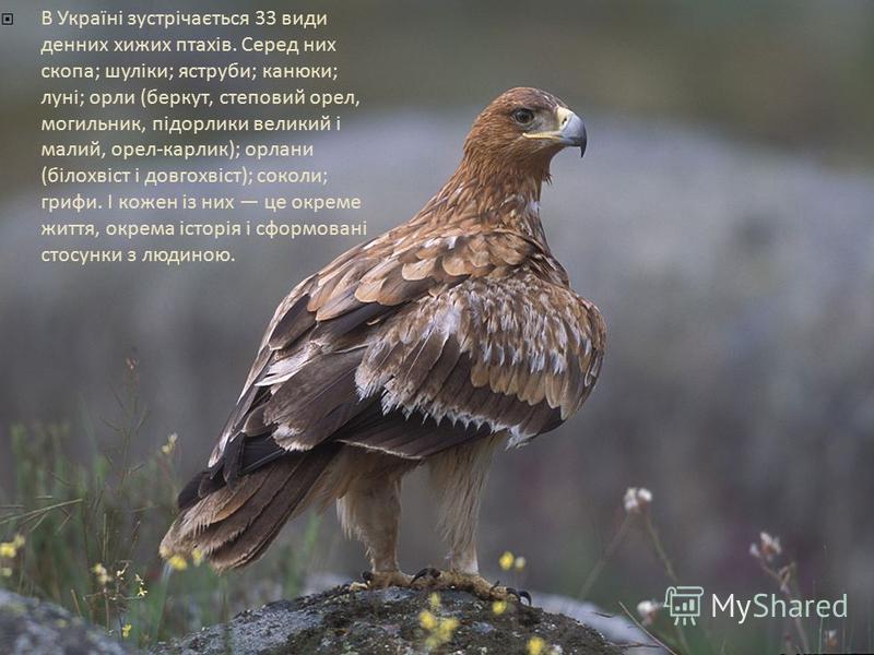 В Україні зустрічається 33 види денних хижих птахів. Серед них скопа; шуліки; яструби; канюки; луні; орли (беркут, степовий орел, могильник, підорлики великий і малий, орел-карлик); орлани (білохвіст і довгохвіст); соколи; грифи. І кожен із них це ок