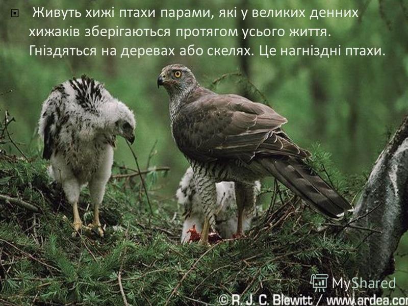 Живуть хижі птахи парами, які у великих денних хижаків зберігаються протягом усього життя. Гніздяться на деревах або скелях. Це нагніздні птахи.