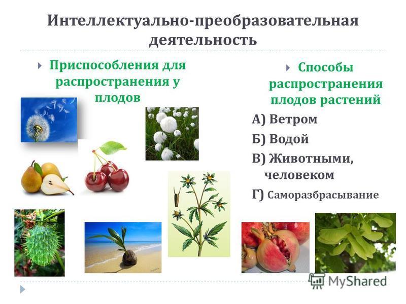 Интеллектуально - преобразовательная деятельность Приспособления для распространения у плодов Способы распространения плодов растений А ) Ветром Б ) Водой В ) Животными, человеком Г ) Саморазбрасывание