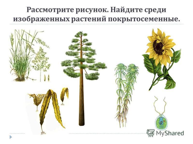 Рассмотрите рисунок. Найдите среди изображенных растений покрытосеименные.