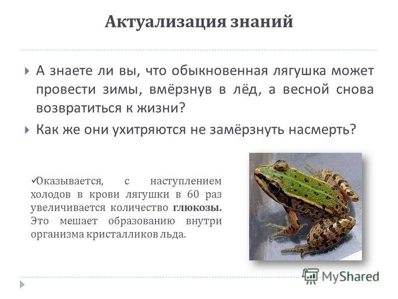 Актуализация знаний А знаете ли вы, что обыкновенная лягушка может провести зимы, вмёрзнув в лёд, а весной снова возвратиться к жизни ? Как же они ухитряются не замёрзнуть насмерть ? Оказывается, с наступлением холодов в крови лягушки в 60 раз увелич