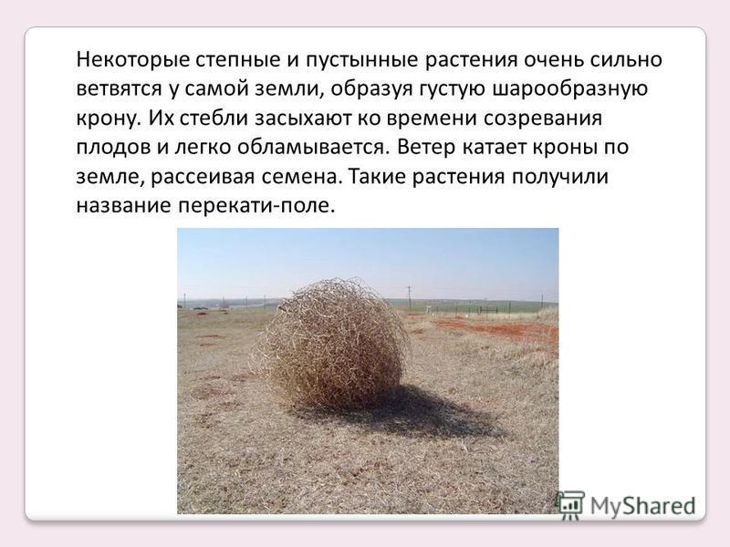 Некоторые степные и пустынные растения очень сильно ветвятся у самой земли, образуя густую шарообразную крону. Их стебли засыхают ко времени созревания плодов и легко обламывается. Ветер катает кроны по земле, рассеивая семена. Такие растения получил