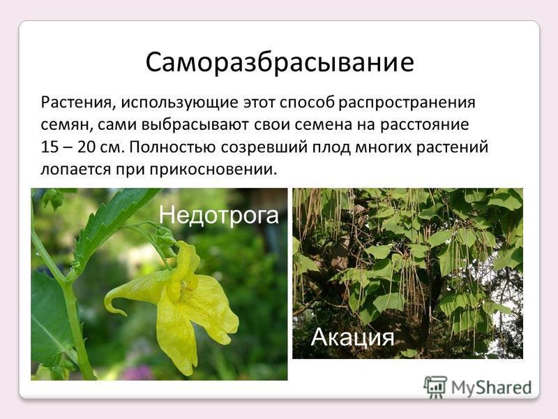 Саморазбрасывание Растения, использующие этот способ распространения семян, сами выбрасывают свои семена на расстояние 15 – 20 см. Полностью созревший плод многих растений лопается при прикосновении. Недотрога Акация