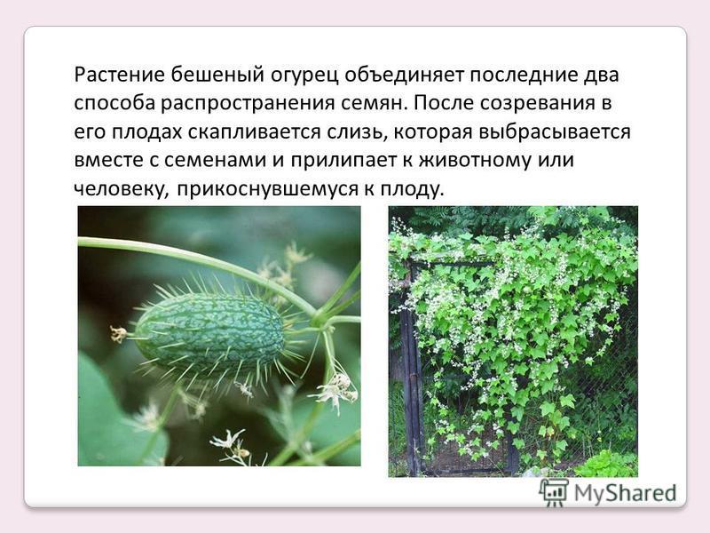 Растение бешеный огурец объединяет последние два способа распространения семян. После созревания в его плодах скапливается слизь, которая выбрасывается вместе с семенами и прилипает к животному или человеку, прикоснувшемуся к плоду.