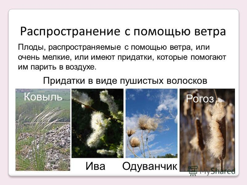 Распространение с помощью ветра Ковыль Ива Одуванчик Рогоз Плоды, распространяемые с помощью ветра, или очень мелкие, или имеют придатки, которые помогают им парить в воздухе. Придатки в виде пушистых волосков