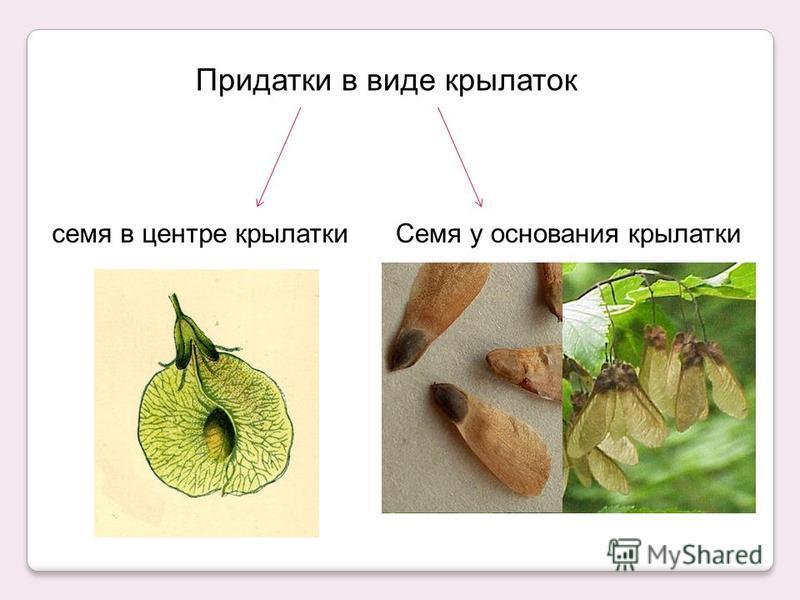 Придатки в виде крылаток семя в центре крылатки Семя у основания крылатки
