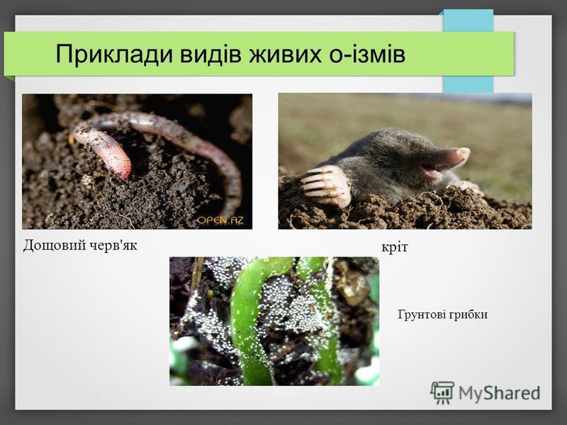 Приклади видів живих о-ізмів Дощовий черв'як кріт Грунтові грибки
