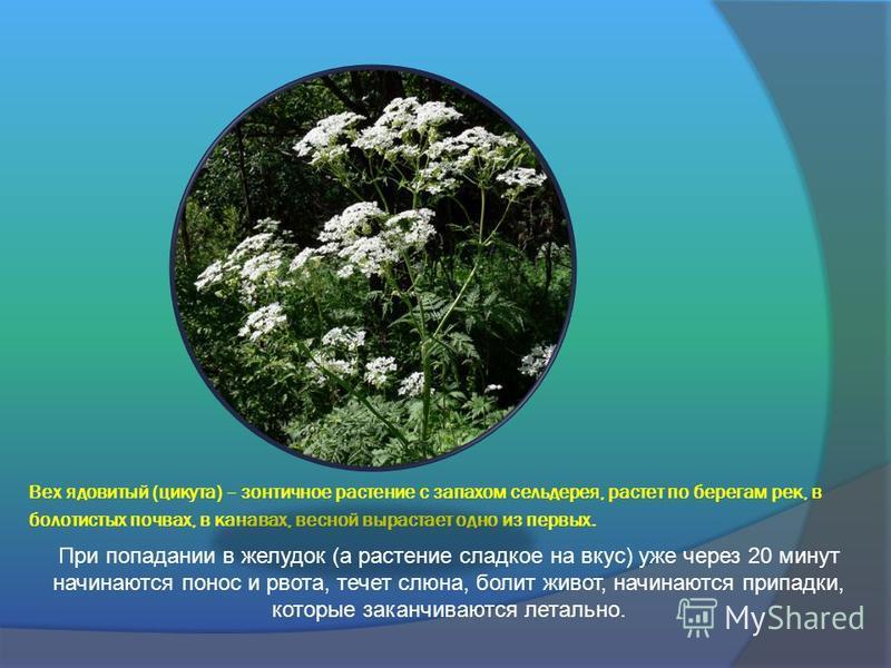 Вех ядовитый (цикута) – зонтичное растение с запахом сельдерея, растет по берегам рек, в болотистых почвах, в канавах, весной вырастает одно из первых. При попадании в желудок (а растение сладкое на вкус) уже через 20 минут начинаются понос и рвота,