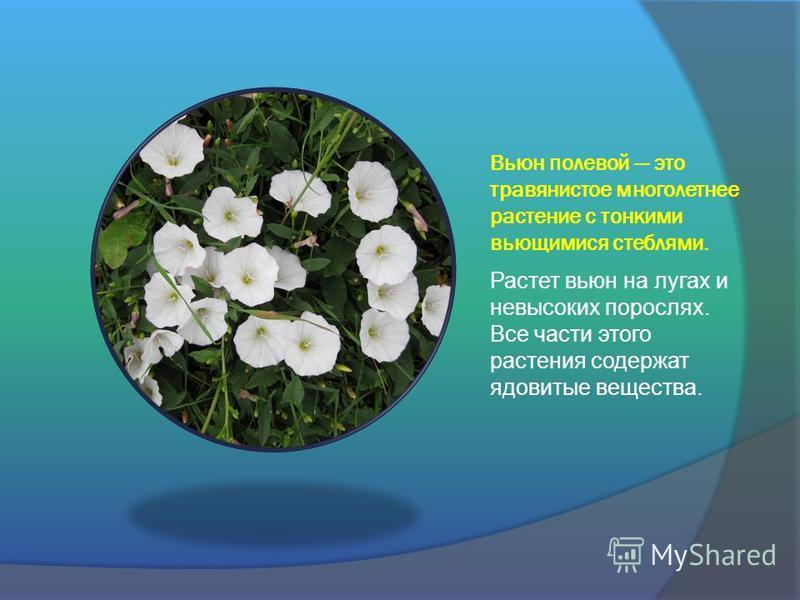 Вьюн полевой это травянистое многолетнее растение с тонкими вьющимися стеблями. Растет вьюн на лугах и невысоких порослях. Все части этого растения содержат ядовитые вещества.