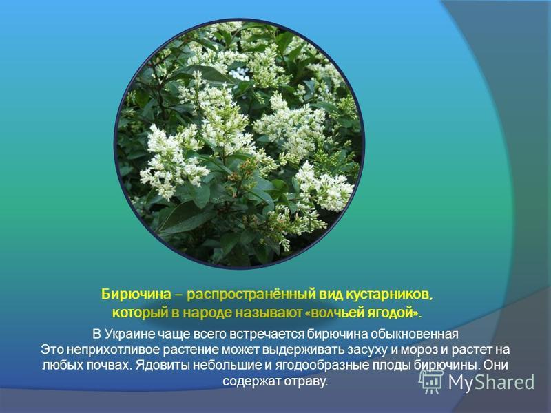 Бирючина – распространённый вид кустарников, который в народе называют «волчьей ягодой». В Украине чаще всего встречается бирючина обыкновенная Это неприхотливое растение может выдерживать засуху и мороз и растет на любых почвах. Ядовиты небольшие и