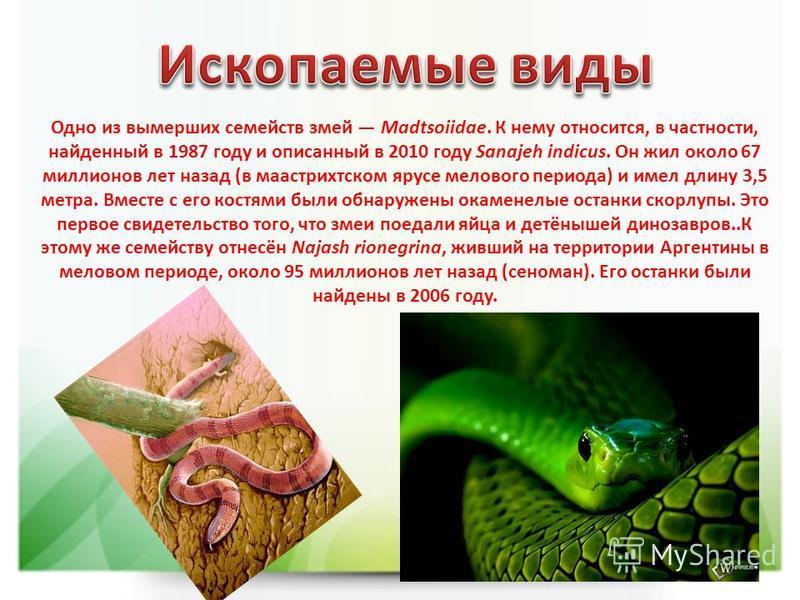 Одно из вымерших семейств змей Madtsoiidae. К нему относится, в частности, найденный в 1987 году и описанный в 2010 году Sanajeh indicus. Он жил около 67 миллионов лет назад (в маастрихтском ярусе мелового периода) и имел длину 3,5 метра. Вместе с ег