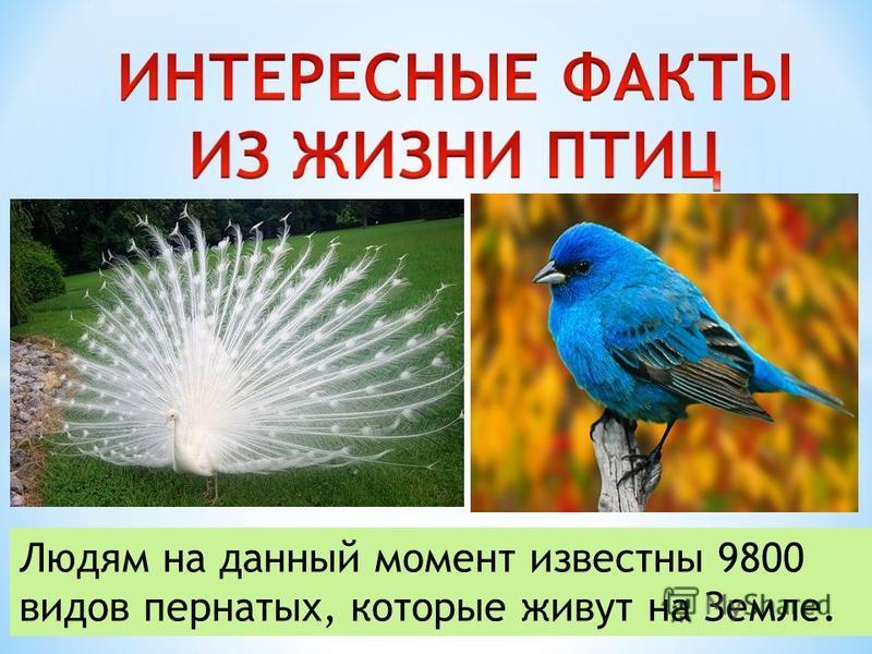 Людям на данный момент известны 9800 видов пернатых, которые живут на Земле.