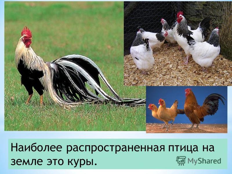 Наиболее распространенная птица на земле это куры.