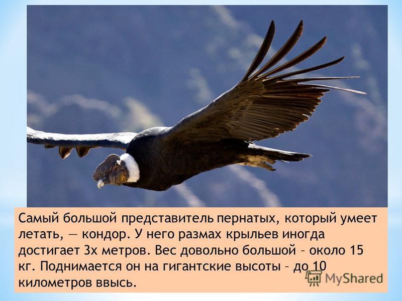 Самый большой представитель пернатых, который умеет летать, кондор. У него размах крыльев иногда достигает 3 х метров. Вес довольно большой – около 15 кг. Поднимается он на гигантские высоты – до 10 километров ввысь.
