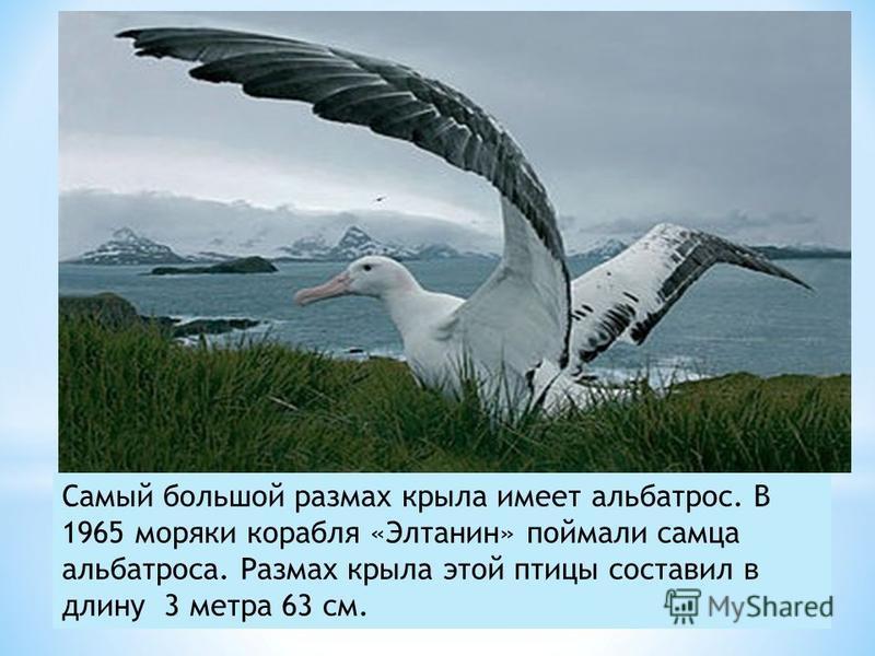 Самый большой размах крыла имеет альбатрос. В 1965 моряки корабля «Элтанин» поймали самца альбатроса. Размах крыла этой птицы составил в длину 3 метра 63 см.