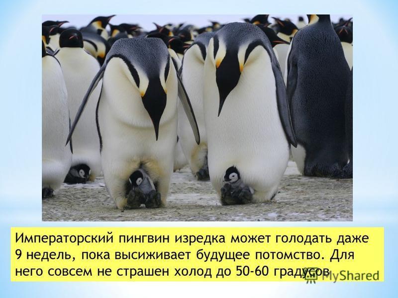 Императорский пингвин изредка может голодать даже 9 недель, пока высиживает будущее потомство. Для него совсем не страшен холод до 50-60 градусов