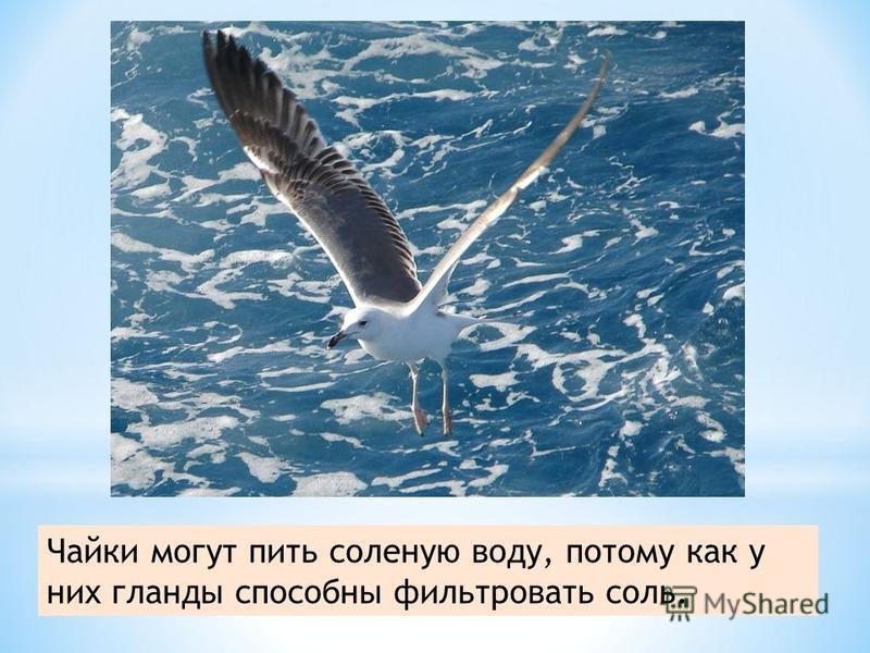 Чайки могут пить соленую воду, потому как у них гланды способны фильтровать соль.