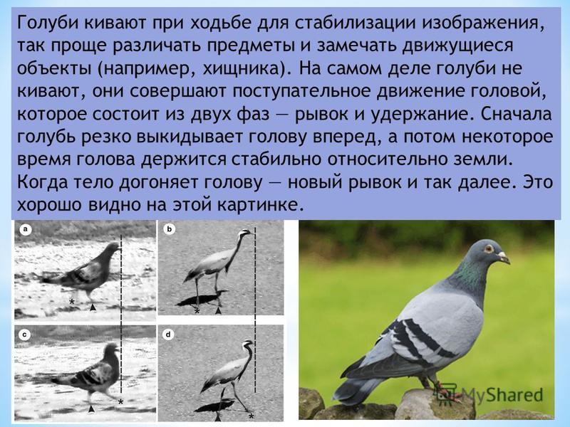 Голуби кивают при ходьбе для стабилизации изображения, так проще различать предметы и замечать движущиеся объекты (например, хищника). На самом деле голуби не кивают, они совершают поступательное движение головой, которое состоит из двух фаз рывок и