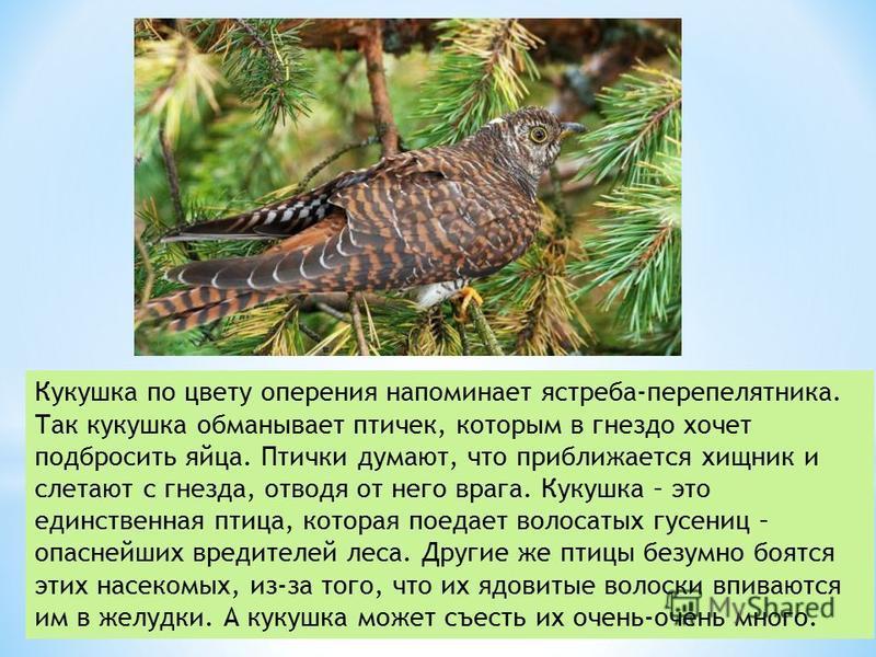 Кукушка по цвету оперения напоминает ястреба-перепелятника. Так кукушка обманывает птичек, которым в гнездо хочет подбросить яйца. Птички думают, что приближается хищник и слетают с гнезда, отводя от него врага. Кукушка – это единственная птица, кото