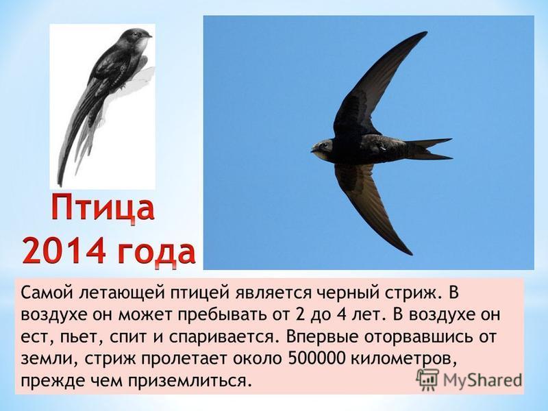 Самой летающей птицей является черный стриж. В воздухе он может пребывать от 2 до 4 лет. В воздухе он ест, пьет, спит и спаривается. Впервые оторвавшись от земли, стриж пролетает около 500000 километров, прежде чем приземлиться.