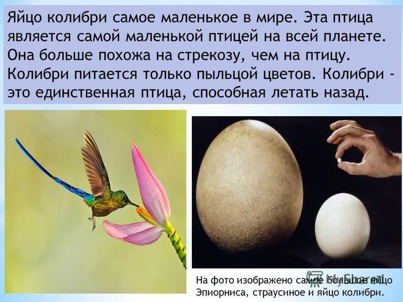 Яйцо колибри самое маленькое в мире. Эта птица является самой маленькой птицей на всей планете. Она больше похожа на стрекозу, чем на птицу. Колибри питается только пыльцой цветов. Колибри - это единственная птица, способная летать назад. На фото изо