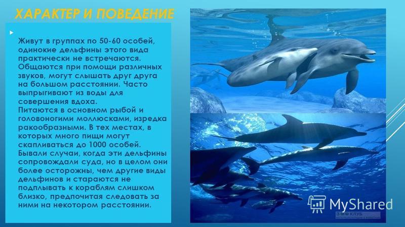 ХАРАКТЕР И ПОВЕДЕНИЕ Живут в группах по 50-60 особей, одинокие дельфины этого вида практически не встречаются. Общаются при помощи различных звуков, могут слышать друг друга на большом расстоянии. Часто выпрыгивают из воды для совершения вдоха. Питаю