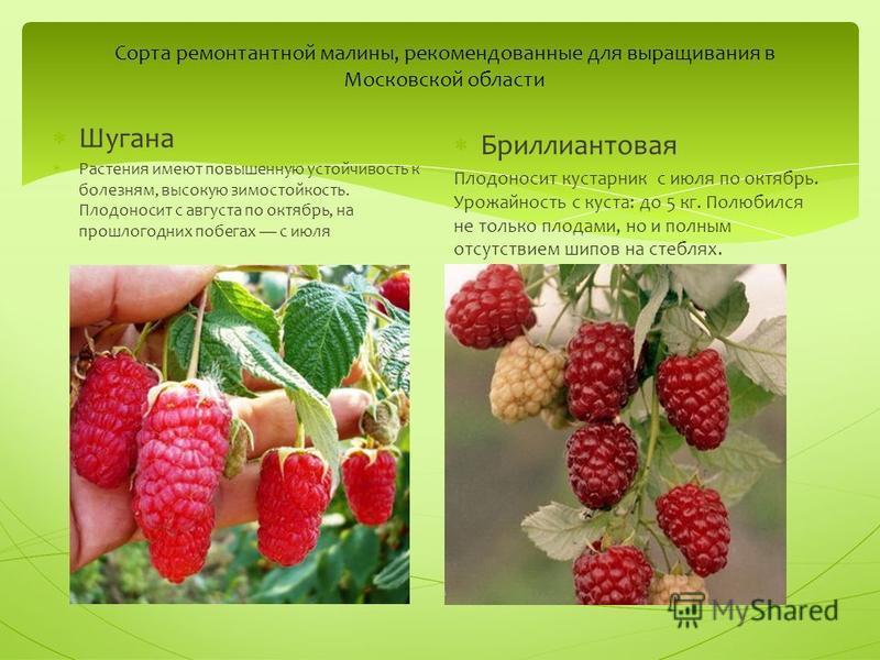 Сорта ремонтантной малины, рекомендованные для выращивания в Московской области Шугана Растения имеют повышенную устойчивость к болезням, высокую зимостойкость. Плодоносит с августа по октябрь, на прошлогодних побегах с июля Бриллиантовая Плодоносит