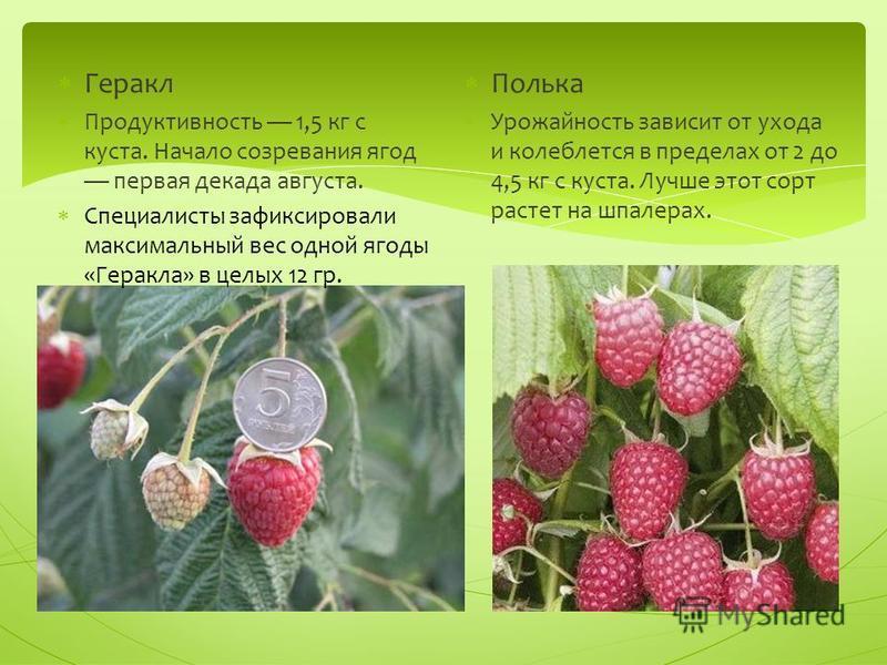Геракл Продуктивность 1,5 кг с куста. Начало созревания ягод первая декада августа. Специалисты зафиксировали максимальный вес одной ягоды «Геракла» в целых 12 гр. Полька Урожайность зависит от ухода и колеблется в пределах от 2 до 4,5 кг с куста. Лу