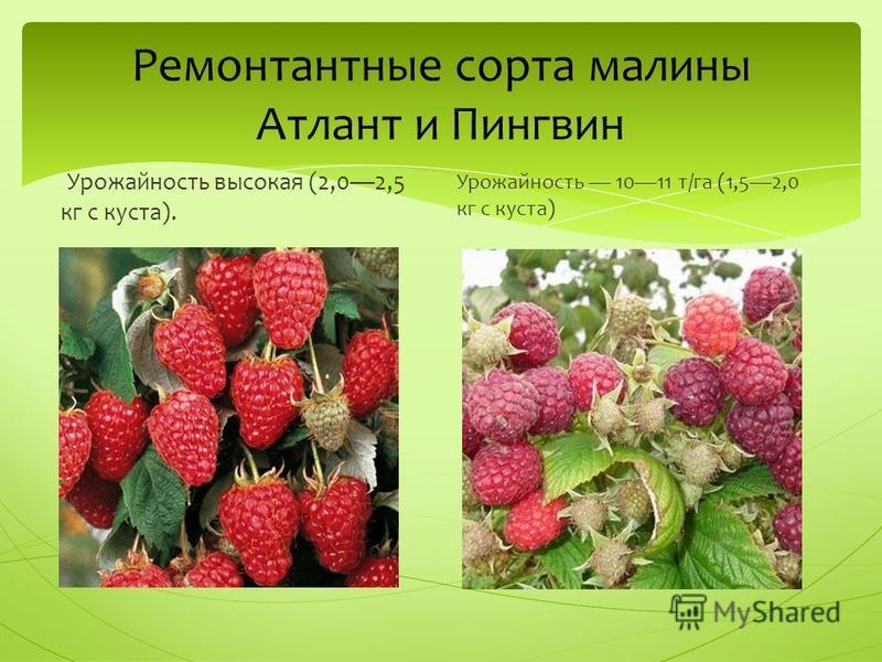 Ремонтантные сорта малины Атлант и Пингвин Урожайность высокая (2,02,5 кг с куста). Урожайность 1011 т/га (1,52,0 кг с куста)