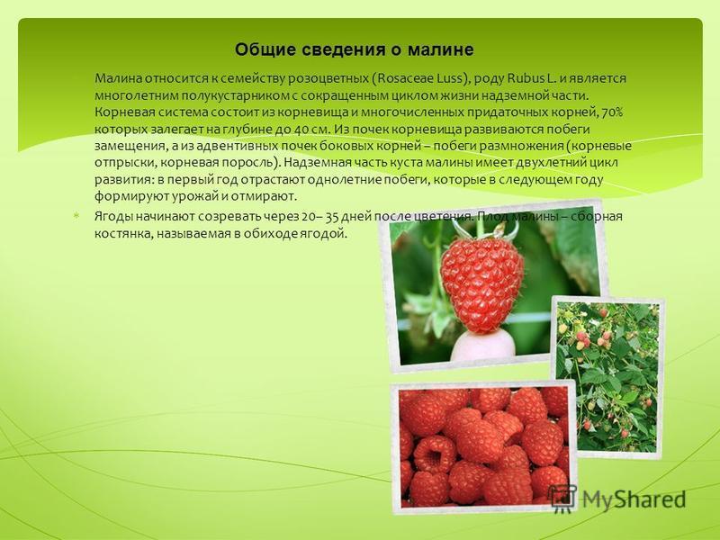 М алина относится к семейству розоцветных (Rosaceae Luss), роду Rubus L. и является многолетним полукустарником с сокращенным циклом жизни надземной части. Корневая система состоит из корневища и многочисленных придаточных корней, 70% которых залегае