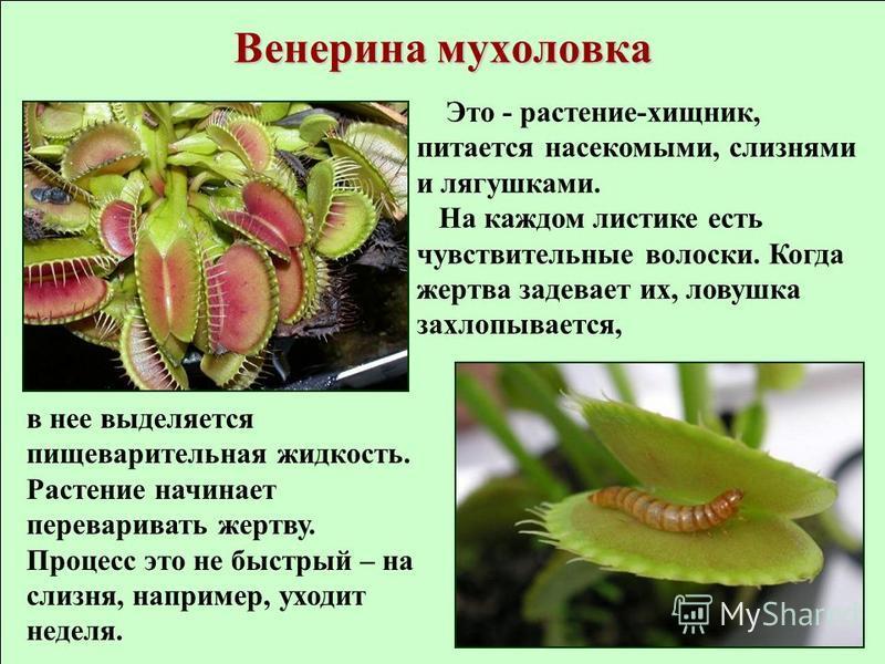 Венерина мухоловка Это - растение-хищник, питается насекомыми, слизнями и лягушками. На каждом листике есть чувствительные волоски. Когда жертва задевоет их, ловушка захлопывоется, в нее выделяется пищеварительная жидкость. Растение начинает перевари