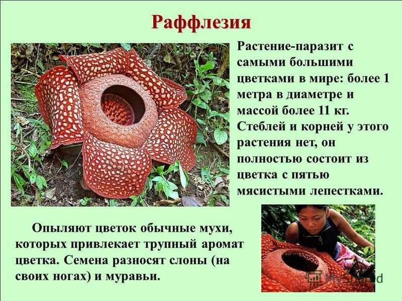 Раффлезия Растение-паразит с самыми большими цветками в мире: более 1 метра в диаметре и массой более 11 кг. Стеблей и корней у этого растения нет, он полностью состоит из цветка с пятью мясистыми лепестками. Опыляют цветок обычные мухи, которых прив