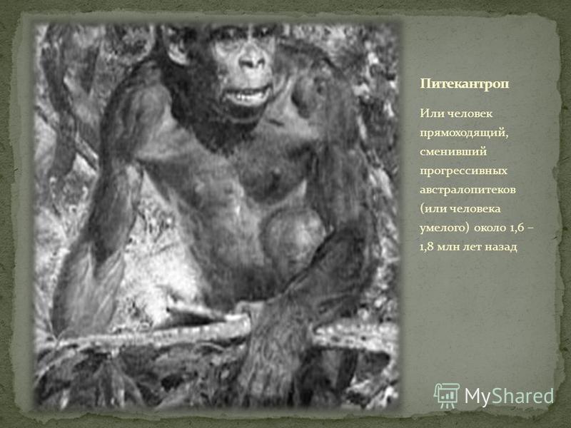 Или человек прямоходящий, сменивший прогрессивных австралопитеков (или человека умелого) около 1,6 – 1,8 млн лет назад