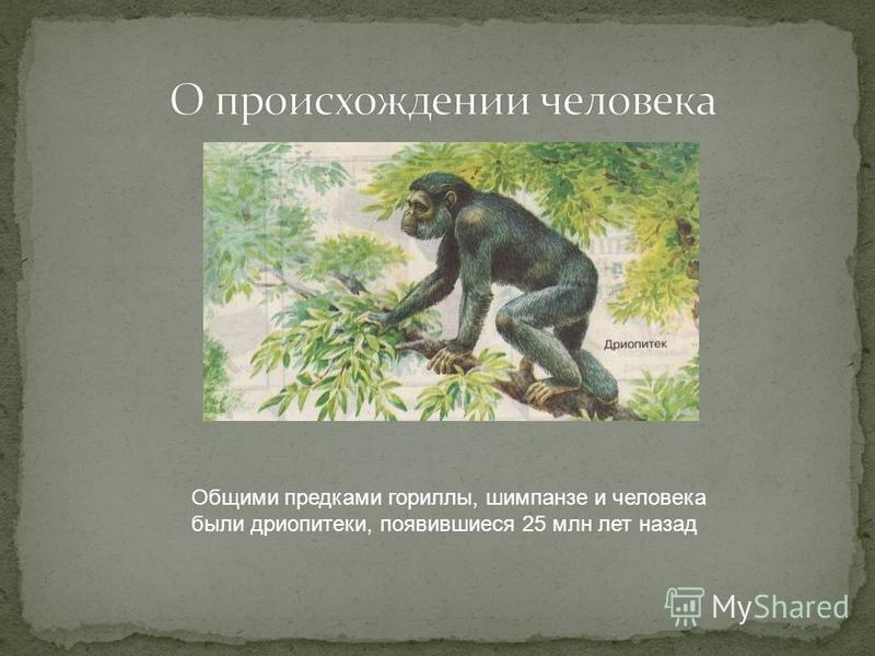 Общими предками гориллы, шимпанзе и человека были дриопитеки, появившиеся 25 млн лет назад