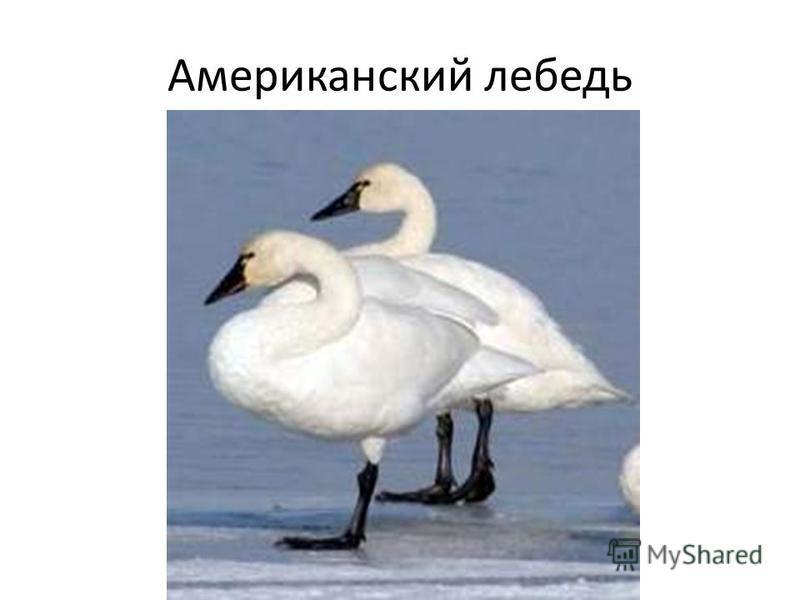 Американский лебедь