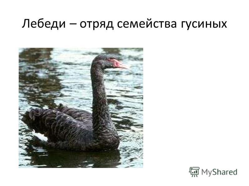 Лебеди – отряд семейства гусиных