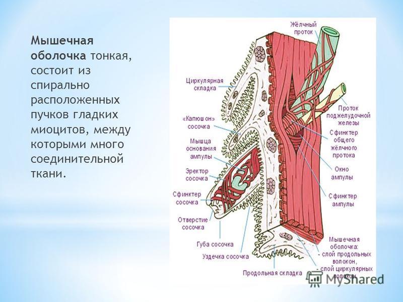 Мышечная оболочка тонкая, состоит из спирально расположенных пучков гладких миоцитов, между которыми много соединительной ткани.