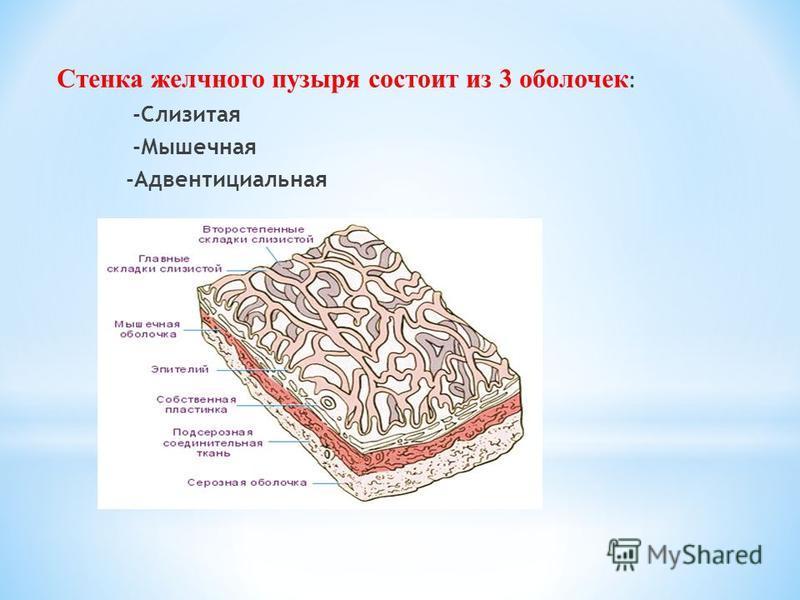 Стенка желчного пузыря состоит из 3 оболочек : -Слизитая -Мышечная -Адвентициальная