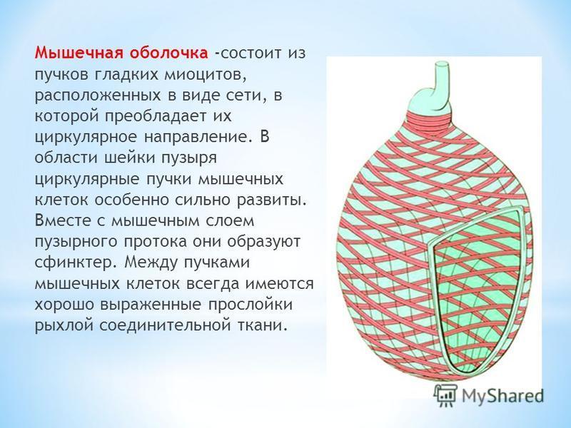 Мышечная оболочка -состоит из пучков гладких миоцитов, расположенных в виде сети, в которой преобладает их циркулярное направление. В области шейки пузыря циркулярные пучки мышечных клеток особенно сильно развиты. Вместе с мышечным слоем пузырного пр