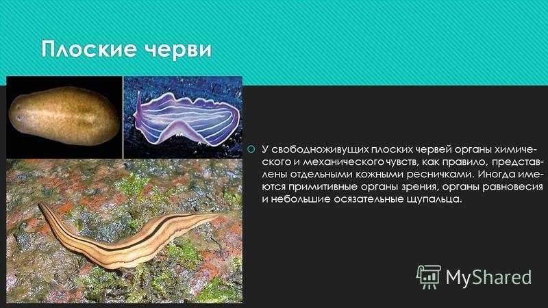Плоские черви У свободноживущих плоских червей органы химиче ского и механического чувств, как правило, представ лены отдельными кожными ресничками. Иногда име ются примитивные органы зрения, органы равнове