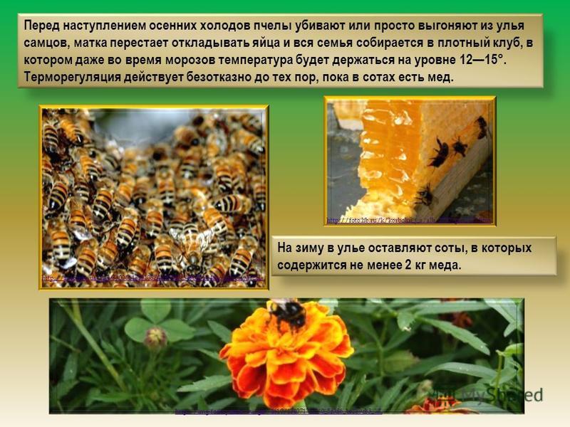 Перед наступлением осенних холодов пчелы убивают или просто выгоняют из улья самцов, матка перестает откладывать яйца и вся семья собирается в плотный клуб, в котором даже во время морозов температура будет держаться на уровне 1215°. Терморегуляция д
