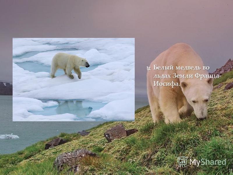Белый медведь во льдах Земли Франца- Иосифа. Белый медведь во льдах Земли Франца- Иосифа.