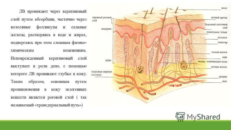 ЛВ проникают через кератиновый слой путем абсорбции, частично через волосяные фолликулы и сальные железы, растворяясь в воде и жирах, подвергаясь при этом сложным физико- химическим изменениям. Неповрежденный кератиновый слой выступает в роли депо, с